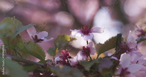 Foto op Plexiglas Magnolia cherry sakura in bloom