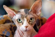 Sphynx Cat Close Up Portrait