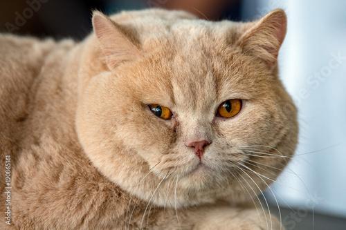 Obraz british shorthair cat - fototapety do salonu