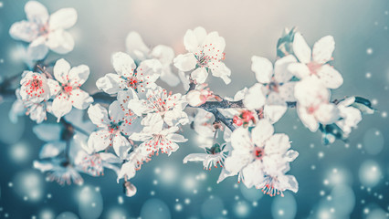 Panel SzklanySpringtime blossom. White cherry spring blossom, flowers bloom at turquoise blur nature background. Blossoming of flowers, close up