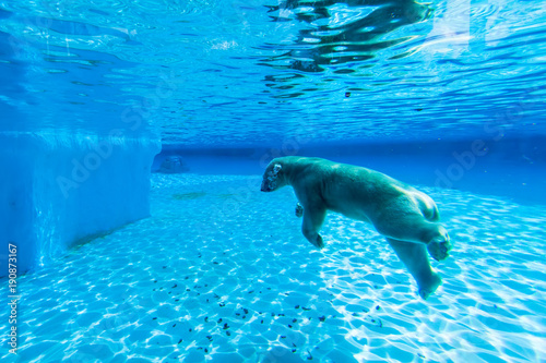 In de dag Ijsbeer Polar bear swims in the pool of Singapore zoo