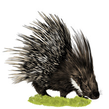 Porcupine Stands In The Grass ...