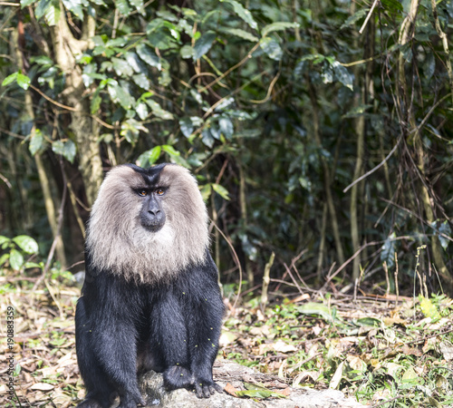 Photo Stands Kangaroo The lion tailed macaque