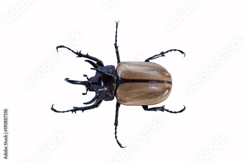 Cuadros en Lienzo Brown beetle insect with close up and more details in white background, isolated