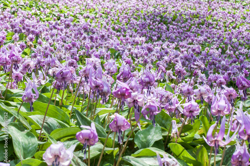 Fotobehang Purper カタクリの花
