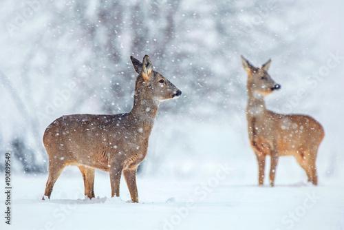 Foto op Plexiglas Ree Wild roe deer in a snowfall