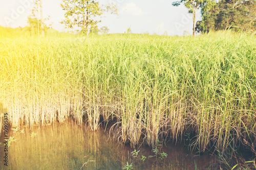 Fotobehang Zwavel geel Golden rice in the fields.