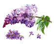 Watercolor lilac flowers on white background