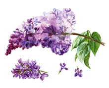 Watercolor Lilac Flowers On Wh...