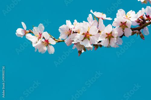 almond blossom branch, blue sky background Wallpaper Mural