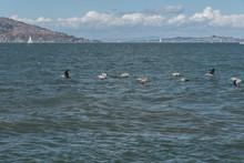 Pelicans From Pier 39