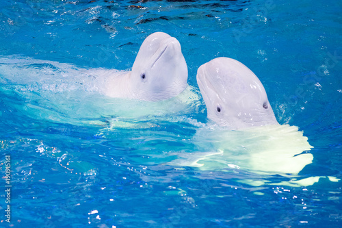 Fotografie, Tablou  pair of beluga dancing in the pool