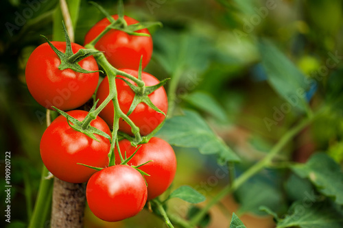 Ripe tomato plant growing in greenhouse