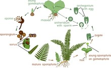 Life Cycle Of Fern. Plant Life...