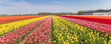 Panorama Of A Colorful Tulips ...