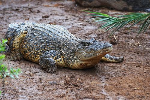 Poster Crocodile crocodile on sand