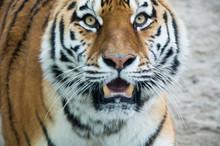 Tygrys 4