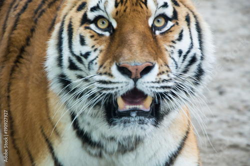 Foto auf AluDibond Tiger Tygrys 4