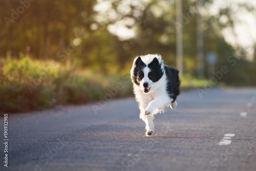 Obraz na plátne beautiful border collie dog running outdoors