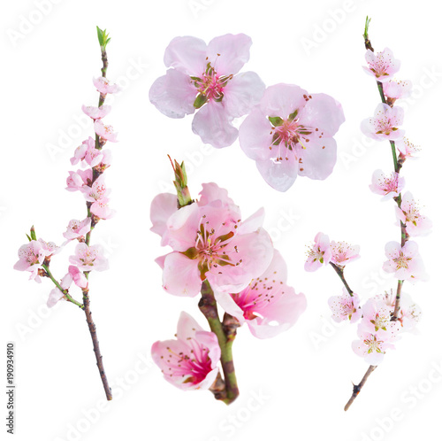 Canvas Pink cherry blossom