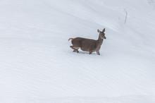 Deer In The Snow In The Mounta...