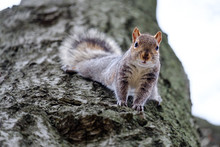 Gray Squirrel Looking Down Fro...
