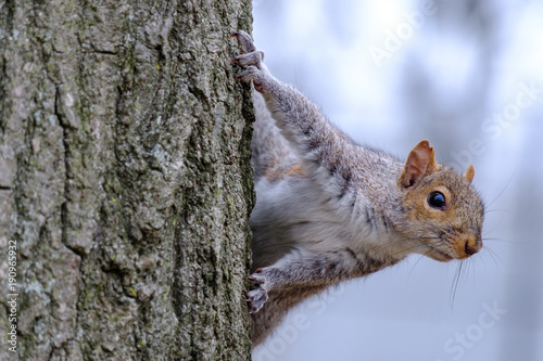 Foto op Canvas Eekhoorn Gray squirrel climbing a tree