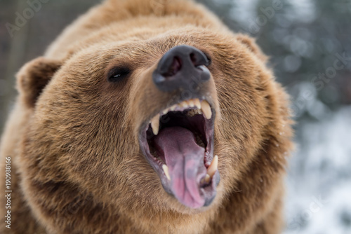 Obraz na plátně Brown bear roaring in forest