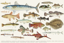 Colored Illustration Of Fish D...
