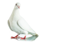 White Dove Isolated On White B...
