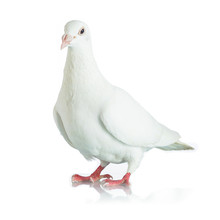 White Dove Isolated On White B...
