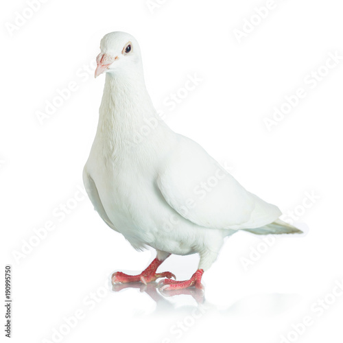 White dove isolated on white background