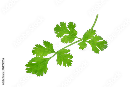 green coriandrum sativum leaves isolated on white background