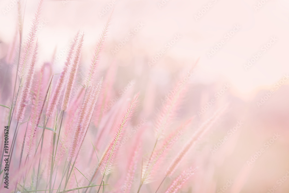 Fototapety, obrazy: Grass flower in soft focus and blurred with vintage style for background