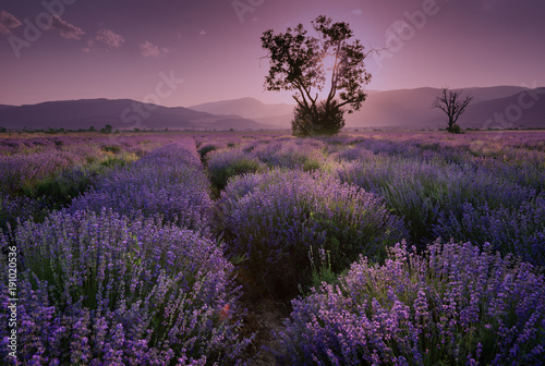 Foto auf AluDibond Lavender fields. Beautiful image of lavender field. Summer sunset landscape, contrasting colors. Dark clouds, dramatic sunset.
