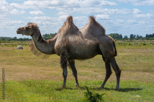 Large male camel walking in a field in beautiful summer weather