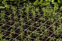 Fresh Herbs In Greenhouse. Spr...