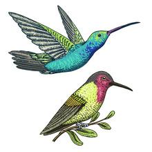 Small Hummingbird. Rufous And ...
