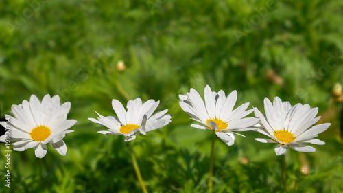 White cosmos flowers in a cosmos flower garden buy this stock white cosmos flowers in a cosmos flower garden mightylinksfo