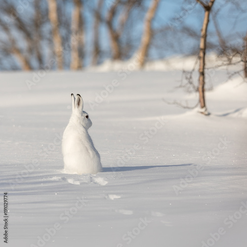 Fotografia  The mountain hare, Lepus timidus, in winter pelage, sitting with its back towards camera, looking right, in the snowy winter landscape with birch trees and blue sky, in Setesdal, Norway
