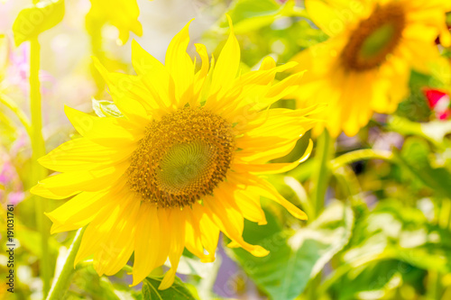 kwiat-slonce-kwiaty-w-ogrodzie-w-swietle-sloneczny-dzien