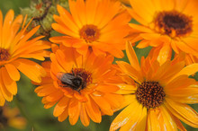 Orange Gerbera And Bumblebee