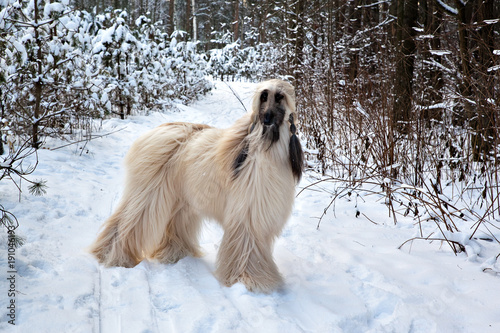 Photo Dog breed  Afghan Hound standing in a snowy forest