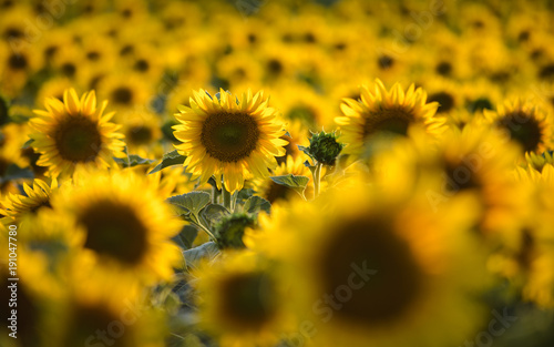 Fotobehang Bloemen Sunflower field on sunset