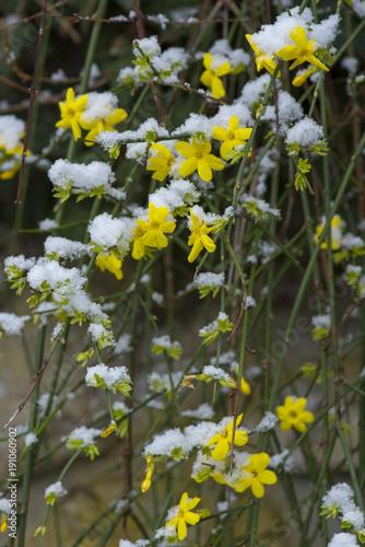 Photo  Jasminum nudiflorum / jasmin d'hiver