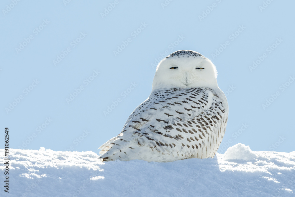 Snowy Owl in Snow Looking at Camera