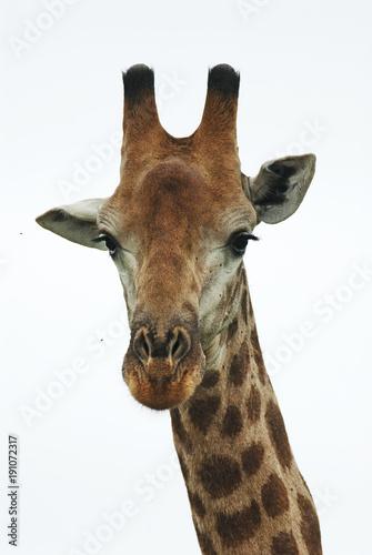 Photo  South African Giraffe, Giraffa giraffa giraffa, portrait, South Africa