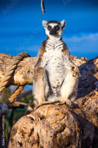 Cute ring-tailed lemur on a tree. Canvas Print