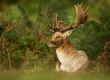 Male fallow deer lying in ferns
