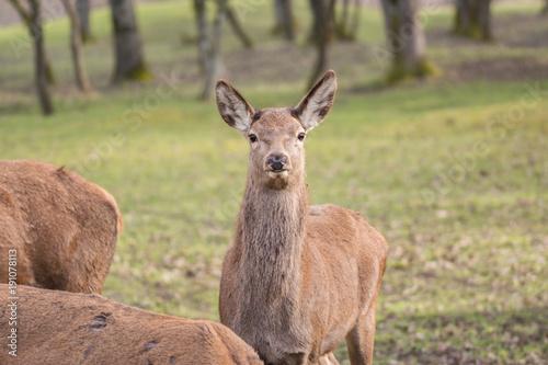 Fotobehang Ree Reh im Wald schaut in die Kamera